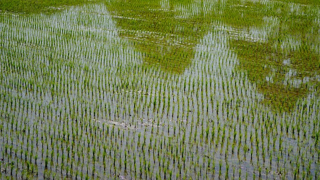 siembra de arroz