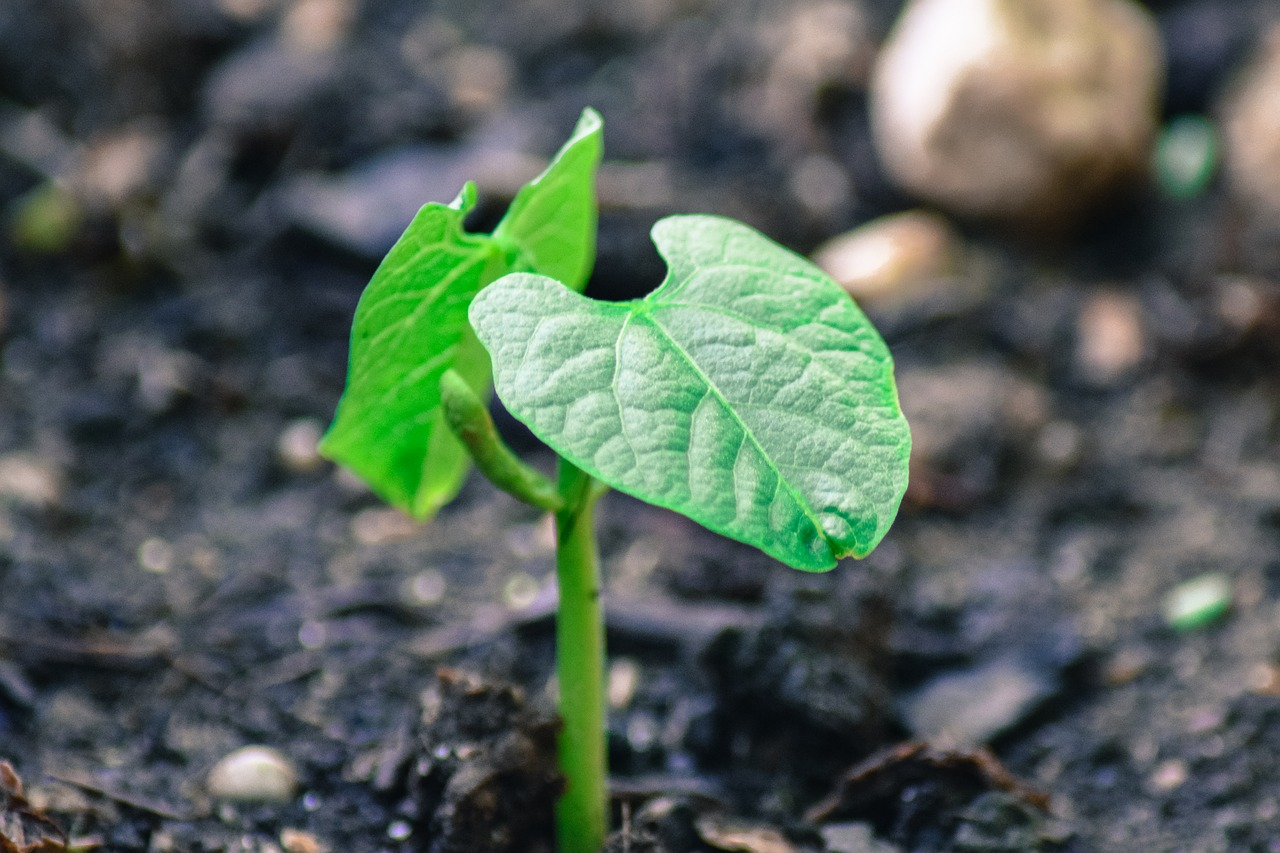 Conoce la distancia entre plantas de frijol en diferentes terrenos.